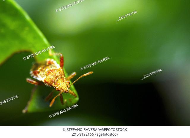 Alydus calcaratus - Italy