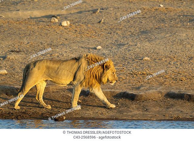 Lion (Panthera leo) - Male at a waterhole in the evening. Etosha National Park, Namibia