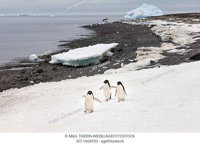 Three Adelie penguins Pygoscelis adeliae walking on the snow, Paulet Island, Erebus and Terror Gulf, Antarctic peninsula