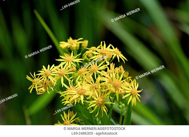 Ragwort, Senecio jacobaea L. , poisonous wildflower in North Germany, Europe