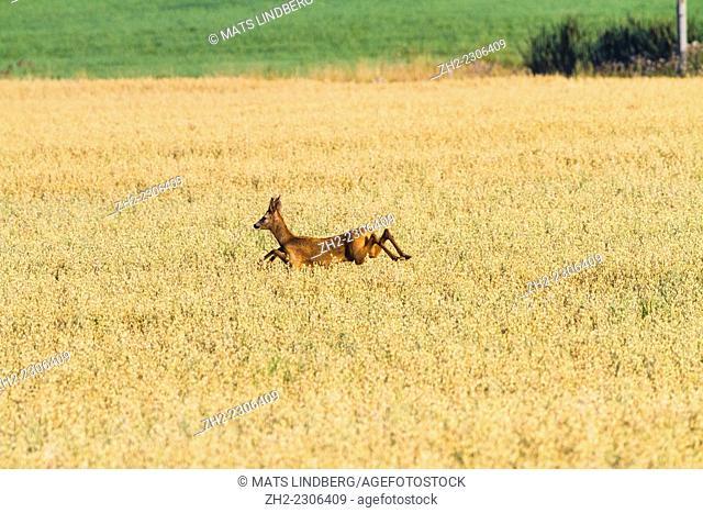 Roedeer running in oatfield in sweden
