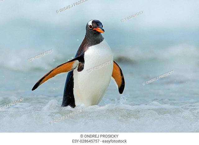 Gentoo penguin jumps out of the blue water