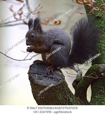Red Squirrel / Europaeisches Eichhörnchen ( Sciurus vulgaris ), sitting in a tree, feeding on seeds, wildlife, Europe.