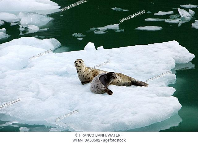 harbor seal, mother with pup, Phoca vitulina, LeConte Glacier Bay, USA, Alaska