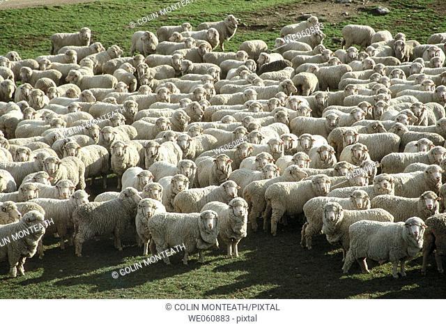 Flock of merino sheep. Central Otago. South Island, New Zealand