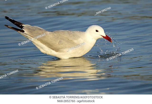 Audouin's gull (Ichthyaetus audouinii), Alcudia, Majorca, Balearic Islands, Spain