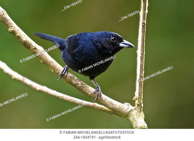 White-lined tanager Tachyphonus rufus perched on a bush in the rain forest in Venezuela