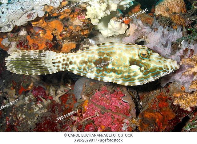 Scrawled Filefish, Aluterus scriptus. Tulamben, Bali, Indonesia. Bali Sea, Indian Ocean