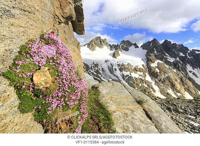 Rocks flowering in summer. Marinelli refuge, Valmalenco, Sondrio district, Lombardy, Italy