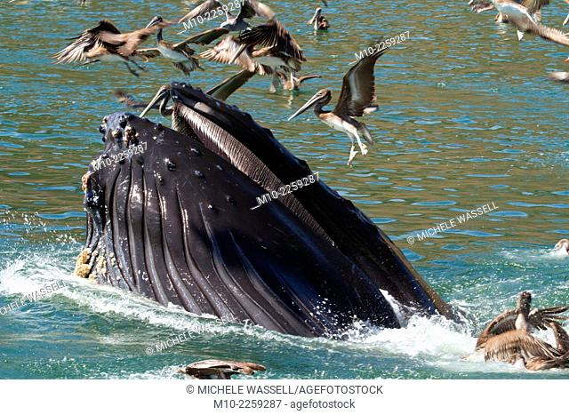 Humpback Whale feeding in Avila Beach, California, USA