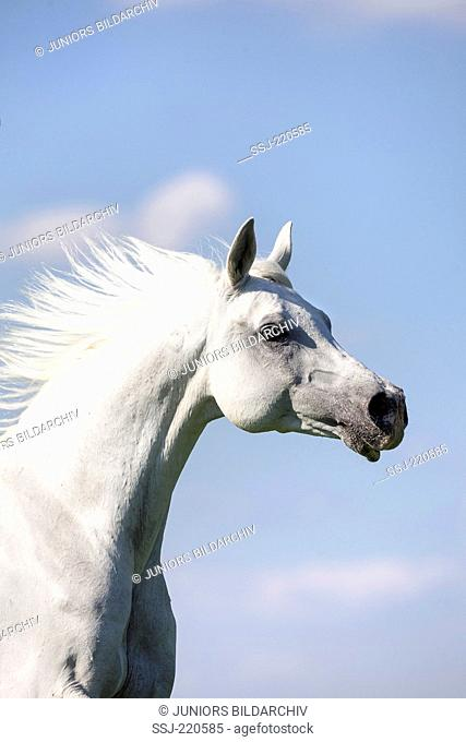 Arab Horse. Portrait of gray adult with mane flowing. Germany