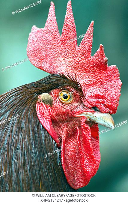 Portrait of a Cockerel or Rooster