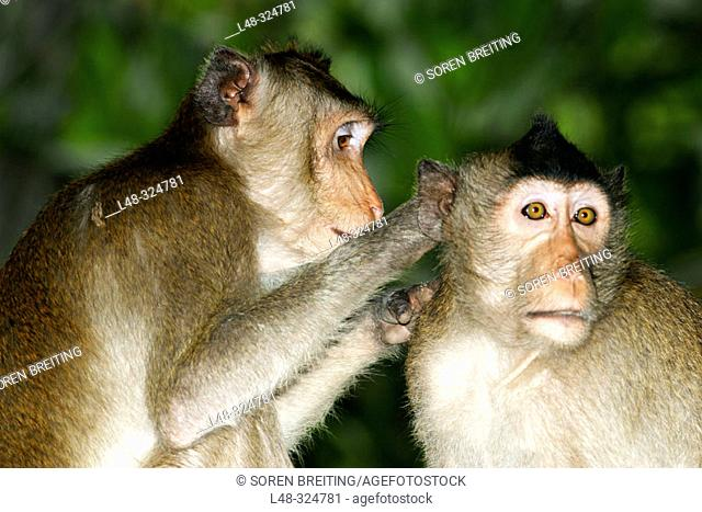 he Long-tailed Macaques (Macaca fascicularis), also called crab-eating monkeys or crab-eating macaques, cleaning each other for ticks and lice in the flock...