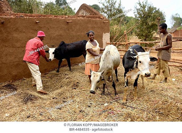 Farmers, family with cows, Analakely village, Tanambao commune, Tsiroanomandidy district, Bongolava region, Madagascar