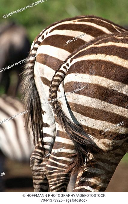 Close up of the backside of two Burchell's zebras (Equus burchelli), Tanzania, Africa