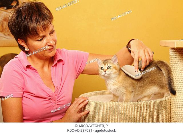 Woman brushing British Shorthair Cat, kitten, golden-ticked-tabby / brush