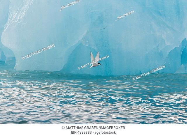 Arctic tern (Sterna paradisaea) in front of iceberg, in flight, Spitsbergen or Svalbard, Norway
