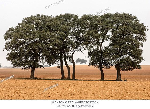Holm Oaks (Quercus ilex), Almansa, Albacete province, Castilla-La Mancha, Spain
