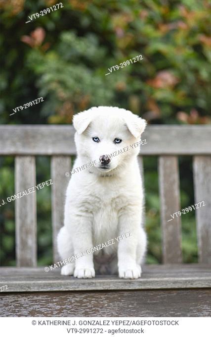 Blue eyed puppy sitting on bench