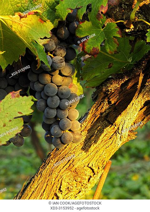 grapes ready to harvest in a vineyard near Monbazillac, Dordogne Department, Nouvelle-Aquitaine, France