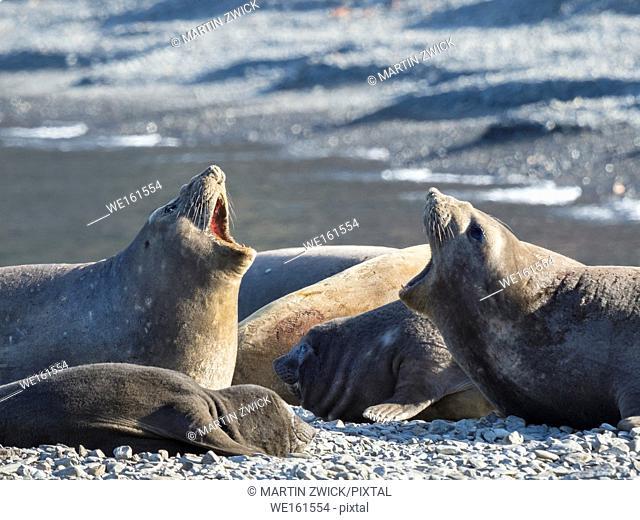 Southern elephant seal (Mirounga leonina), females in harem on beach. Antarctica, Subantarctica, South Georgia, October