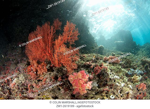 Reef scene with coral fan and sunlight, Razorback Rock dive site, Farondi, Raja Ampat (4 Kings) area, West Papua, Indonesia