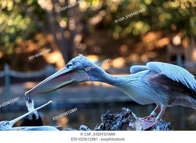 Great white pelican, Pelecanus