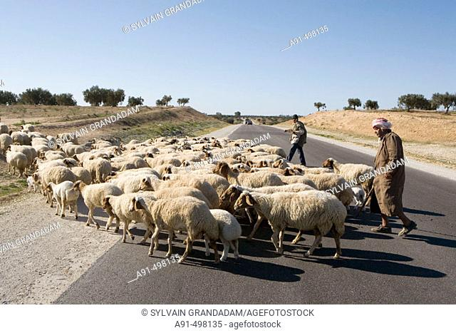 Tunis sheep Stock Photos and Images | age fotostock