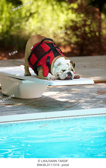 Dog standing at edge of diving board