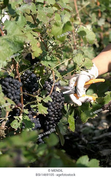 VINEYARD<BR>Grape harvesting in Champagne Ardennes