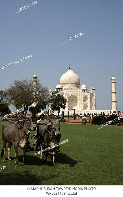 Bullocks used for grass cutting of lawn at Taj Mahal Seventh Wonders of World , Agra , Uttar Pradesh , India UNESCO World Heritage Site