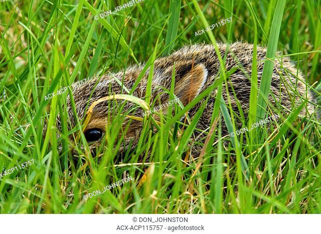 Varying hare (Lepus americanus) Newborn hiding in grass, Greater Sudbury, Ontario, Canada