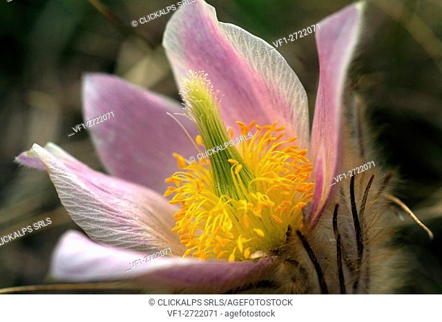 Pulsatilla alpina (alpine pasqueflower or alpine anemone) is a species of flowering plant in the family Ranunculaceae, native to the mountain ranges of central...