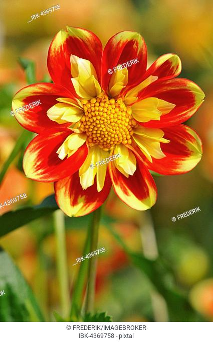 Dahlia (Dahlia sp.), Pooh variety, flower, North Rhine-Westphalia, Germany