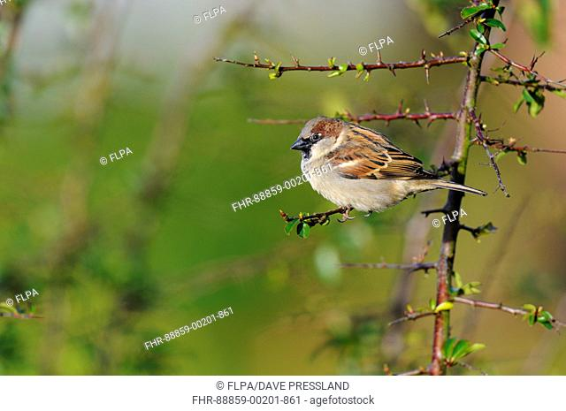 House sparrow (Passer domesticus), adult male, perched on a Pyracantha twig in a garden in Sowerby, North Yorkshire. February