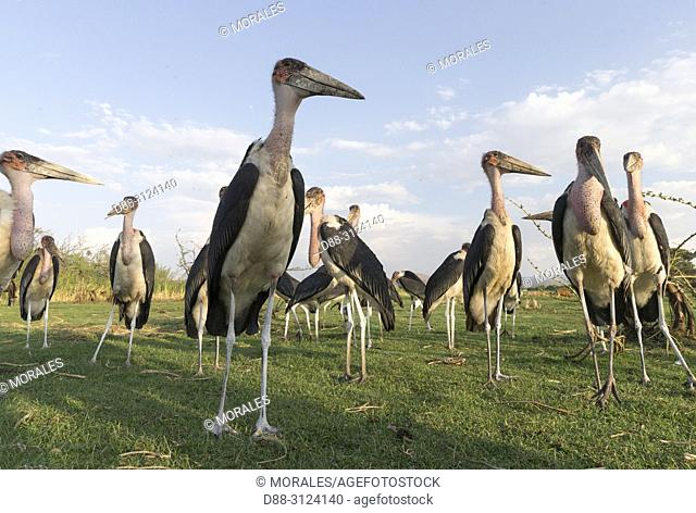 Africa, Ethiopia, Rift Valley, Ziway lake, Marabou stork (Leptoptilos crumenifer) on the ground around fishermen boats, they are waiting for the remains of fish...