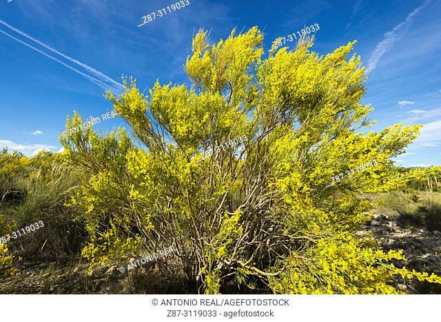 Yellow retama (Retama sphaerocarpa). Almansa. Albacete. Spain