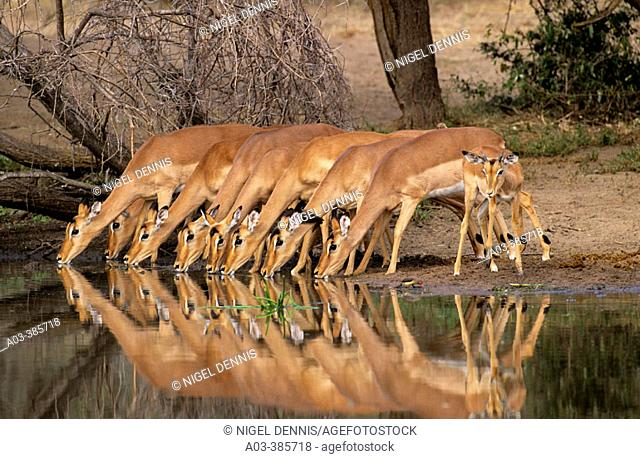 Impalas (Aepyceros melampus). Kruger National Park. South Africa