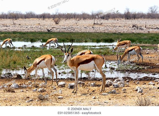 herd of springbok in Etosha national park, Namibia