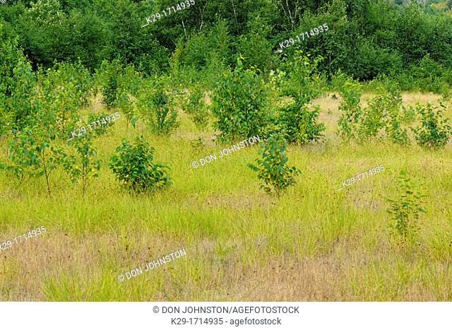 Newly planted pine trees in a meadow, Greater Sudbury , Ontario, Canada