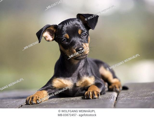Lies dog, puppy, wood-ground, outside, animal mammal pet house-dog breed, race-dog, Prager Rattler, young, symbol, waits, education, obedience, attention