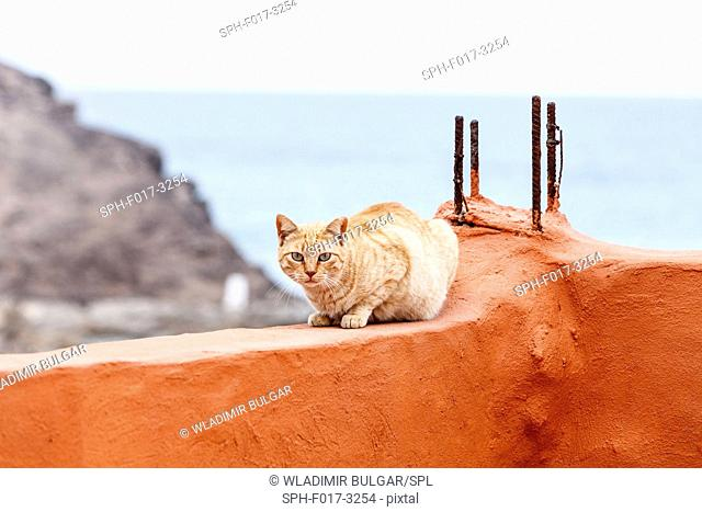 Red cat on a red wall, Fuerteventura, Canary Islands