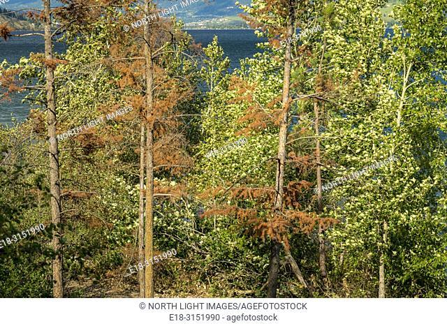Canada, BC, Vernon. Evely Forest Service Rec Site on Okanagan Lake