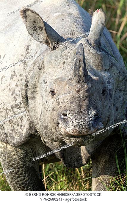 Indian rhinoceros (Rhinoceros unicornis), portrait, endangered species, Kaziranga National Park, Assam, India