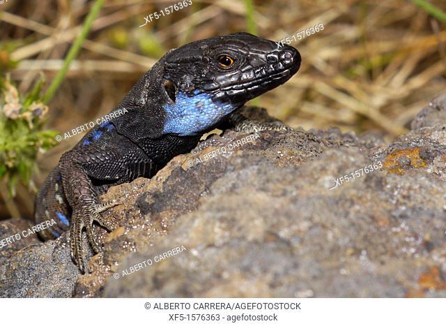 La Palma lizard, Sizeable lizard, Wall lizard, Lagarto Tizón, Gallotia galloti palmae, Male lizard, Lacertidae, Caldera de Taburiente National Park
