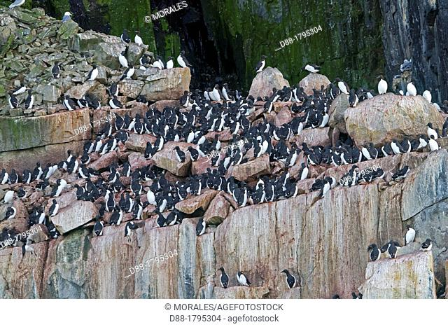 Norway , Spitzbergern , Svalbard , Rocks , Bird colony, Thick-billed Murre or Brünnich's Guillemot Uria lomvia