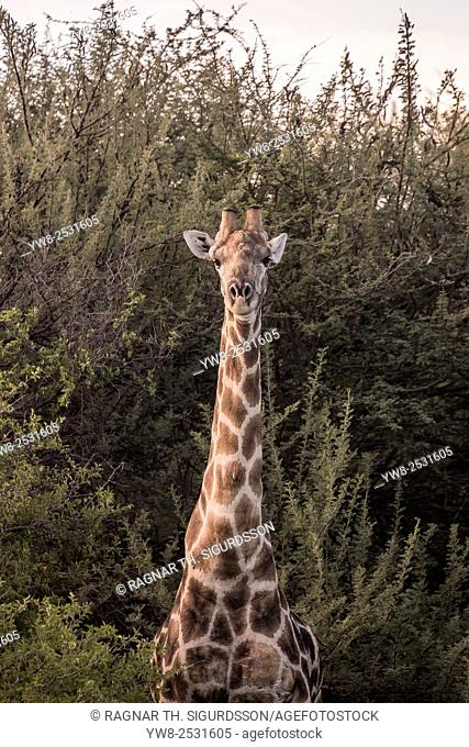 Giraffe looking at the camera, Okonjima, Namibia, Africa