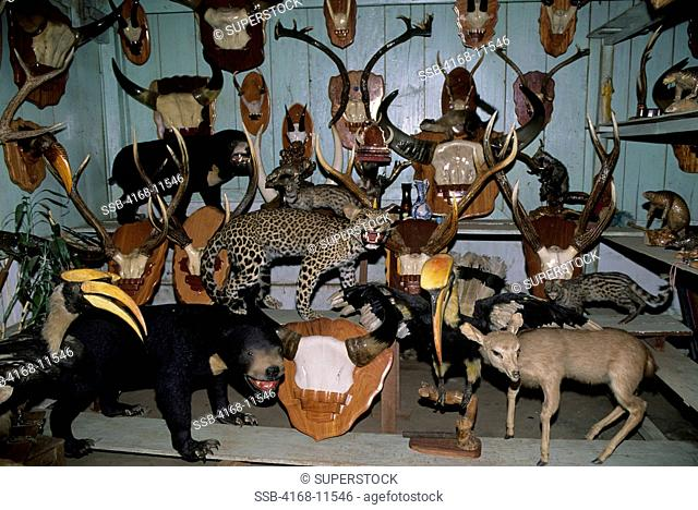 Vietnam,Central Highlands, Buon Ma Thuot, Endangered Taxidermic Rainforest Animals For Sale