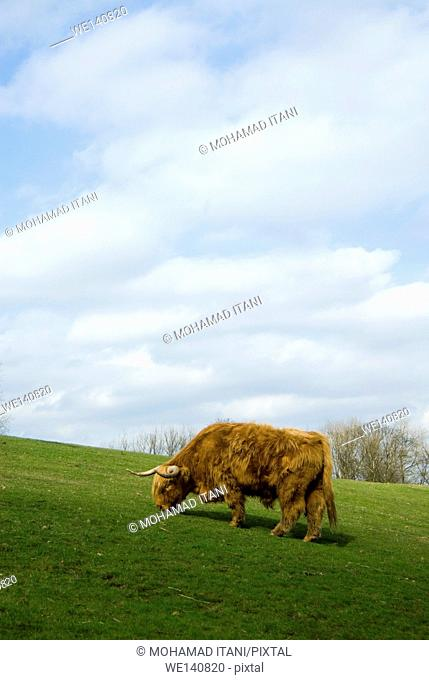 European Highland cow feeding in field with blue sky
