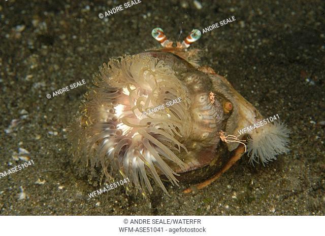 Anemone Hermit Crab, Anemone Detail, Dardanus pedunculatus, Dumaguete, Negros, Visayan Sea, Philippines
